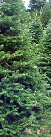 Fir Boughs